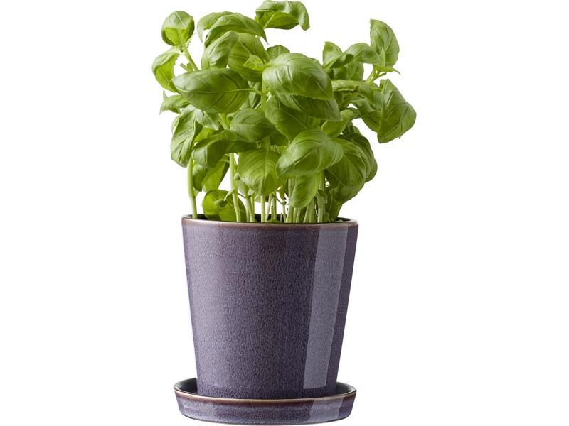 purple bitz pot plant